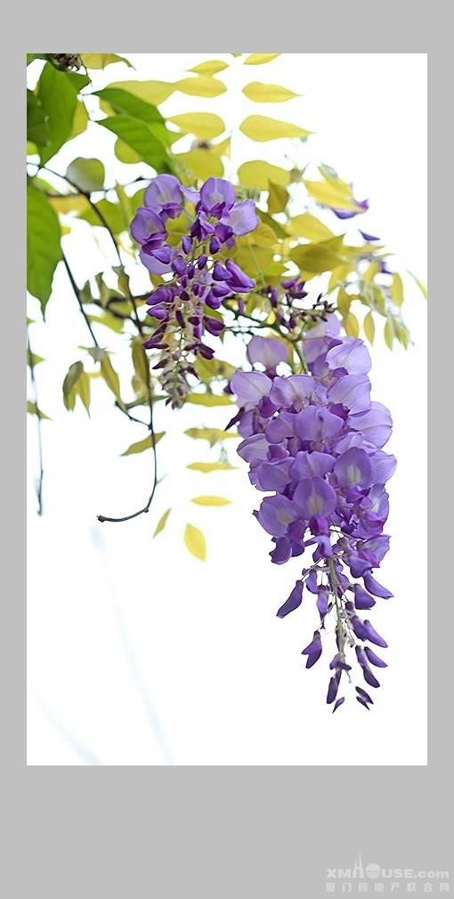 春日紫藤花